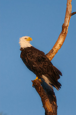 Bald Eagle in Sunset Glow