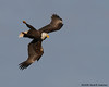 Bald Eagle intricate flight manuever<br /> near Conowingo Dam<br /> Susquehanna River, Maryland<br /> December 2008