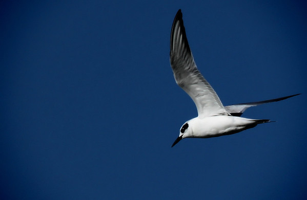 A Forster's tern (Sterna forsteri) in flight (2009_12_26_046986)