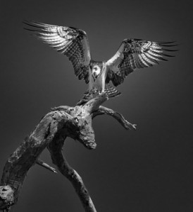 Osprey Glory
