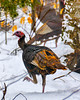 Wild Turkeys In Winter