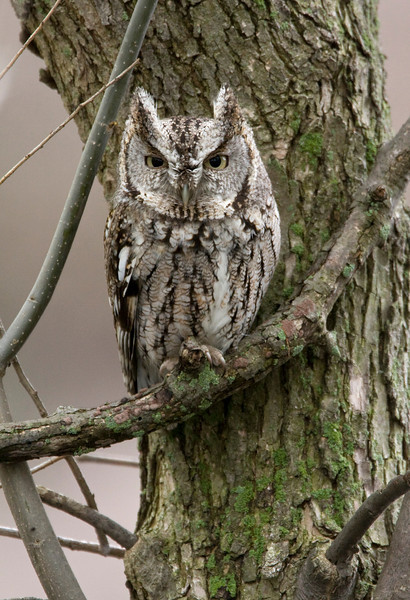 Eastern Screech Owl - May 2008