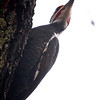 Pileated Woodpecker (Dryocopus pileatus)<br /> Williamsburg, Virginia, USA<br /> IUCN Status: Least Concern