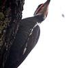 Pileated Woodpecker (Dryocopus pileatus)<br /> Williamsburg, Virginia, USA<br /> IUCN Status: Least Concern