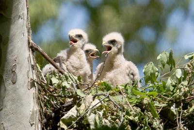 052908 Hawk Chicks-21