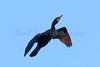 Cormorant Ascending