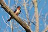 Barn Swallow female, Beaver Marsh, 7/26/10