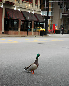 Mallard Duck on State St. near Illinois St. in Chicago