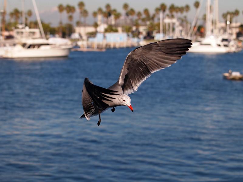 Heerman's Gull at Alamitos Bay - 26 Nov 2010