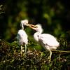 Great Egret Chicks