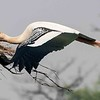 Painted Stork 2