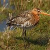 Blacktailed Godwit