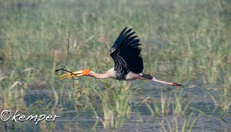 Painted Stork 6