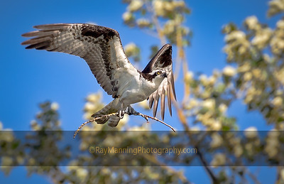 Osprey Collecting Nest Material