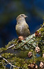 White-winged Crossbill (female) - February 2012