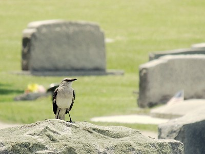 Cemetery Mockingbird 3