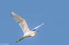 Great Egret in flight at Ellis Creek #1