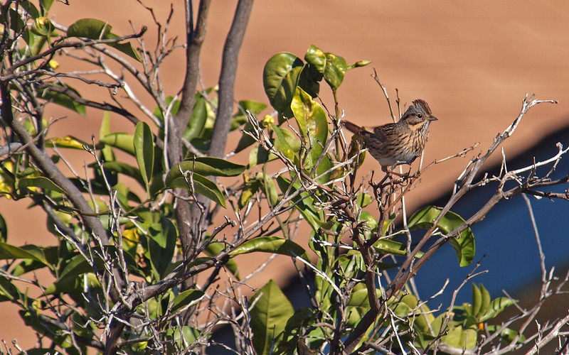 Sage Thrasher - 14 Jan 2010