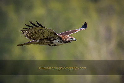 Juvenile Red Tail In Flight