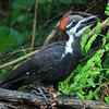 """Pileated Woodpecker Singin' in the Rain"""