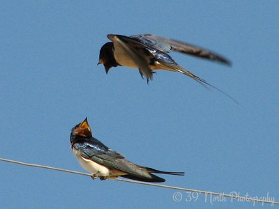 Barn Swallows Kirkuk, Iraq