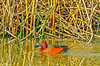 Cinnamon Teal at Colusa #1 2-2012