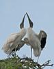 Wood Storks, St. Augustine, Florida