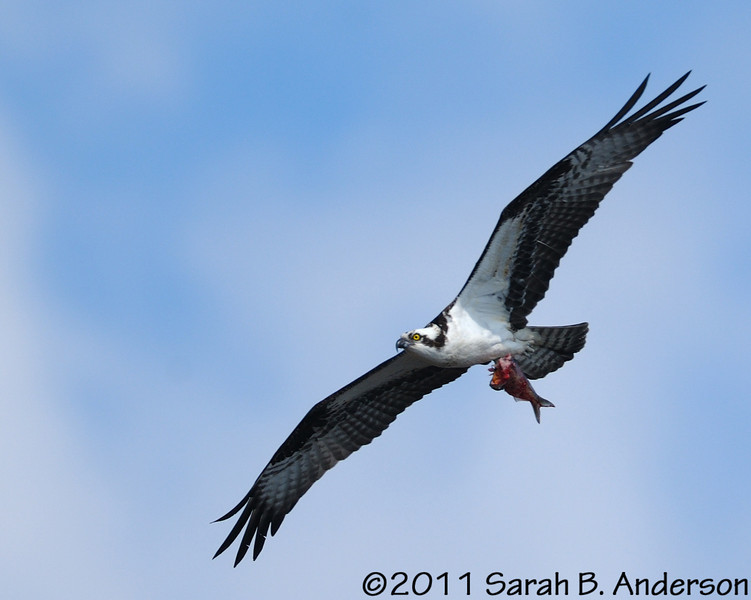Osprey with catch of the day<br /> <br /> Occoquan NWR, Virginia<br /> April 2011
