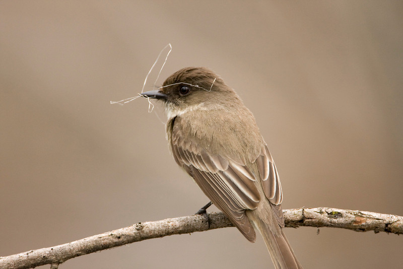 Eastern Phoebe - April 2008