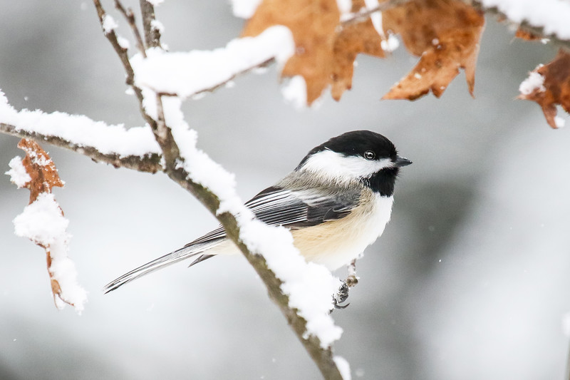 The Chickadees of Winter  3