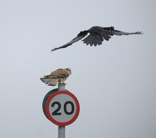 Cornwall  Hayle     Cornwall  Hawk or Buzzard