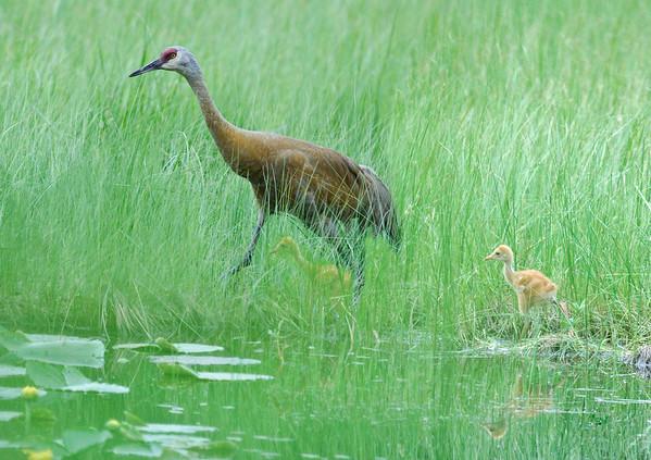 Sandhill Crane with Chicks, McCall, Idaho