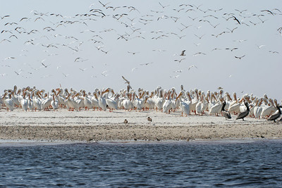 Pelicans & Cormorants resting on a secluded island off of Cedar Key