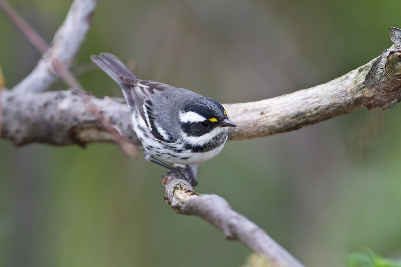 Black throat Gray Warbler - Magee Marsh - Sep 25, 2011<br /> A great find for the area!  This is a western species that ended up here.