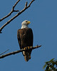 Bald Eagle <br /> Susquehanna River<br /> November 2008