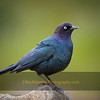Brewer's Blackbird