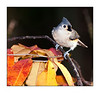 Tufted Titmouse<br /> (Baeolophus bicolor)