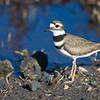 Killdeer, Malheur National Wildlife Refuge, Oregon