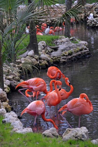 Flamingos - Homosassa Wildlife Park