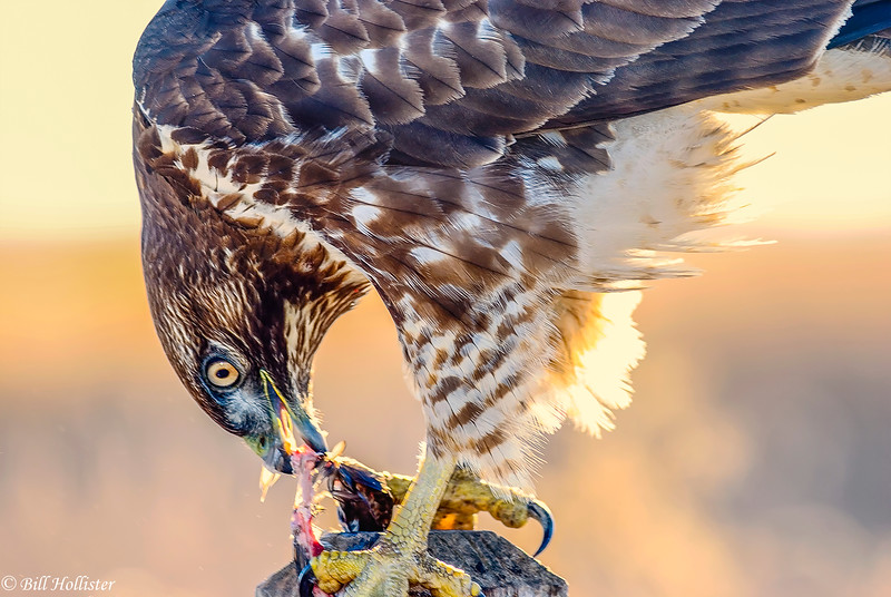 Red-tailed Hawk eating #3