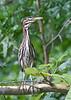 Yellow-crowned Night-Heron juvenile