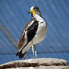 White-Headed Lapwing at Safari Park - 26 May 2010