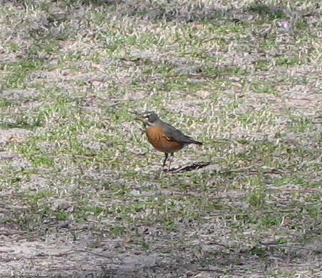 An American robin (Turdus migratorius) standing in a field (172_7299)