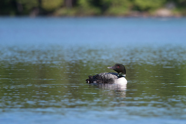 Common Loon, Ontario