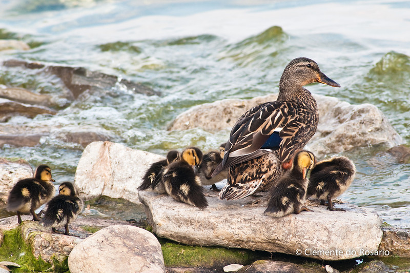 Female Mallard with young ducklings on the rocks in Lake Ontario