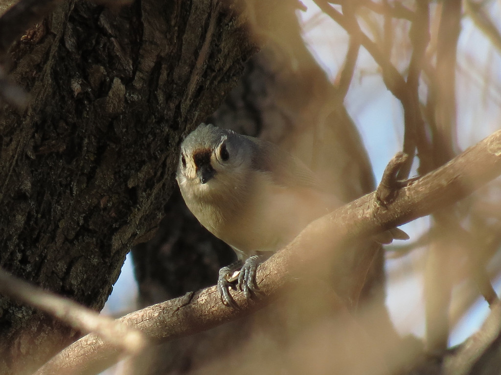 Tufted Titmouse cracking open a sunflower seed.