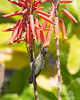 Anna's Hummingbird (wild) with his face in a flower.