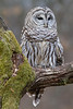 Barred Owl - January 2013