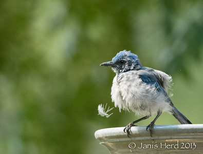 Scrubjay, Central Texas