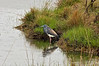 Tri-colored Heron, Chincoteague National Wildlife Refuge, Virginia